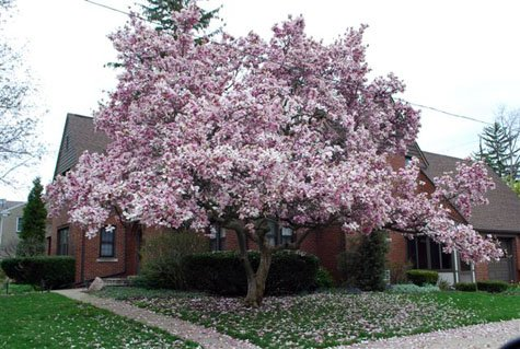 Jane Tulip Magnolia Tree Live Plant Shipped 1 To 2