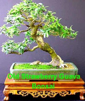 Bonsai Guava Tree For Sale Bonsai Tree