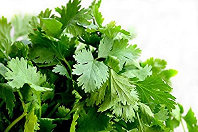300 Coriander Leisure Seeds (Cilantro)