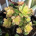 Aeonium Kiwi Succulent Plants Rare Succulents