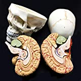 Human Skull with Brain Anatomical Model 8-Part