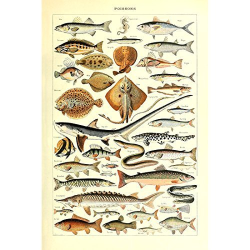 Vintage Poster Print Art Fishes Breeds Species Chart Collection Identification Reference Biology Science Sealife Sea Marine Life Diagram (15.75'' x 23.62'')