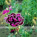Generic NF396xC: 2018 New Arrivals!! 1 Professional Pack, 200 Seeds/Pack, 23 Types Carnation Seeds Dianthus Caryophyllus Rare Black Blue Colorful Purple - (Color NF396xC)