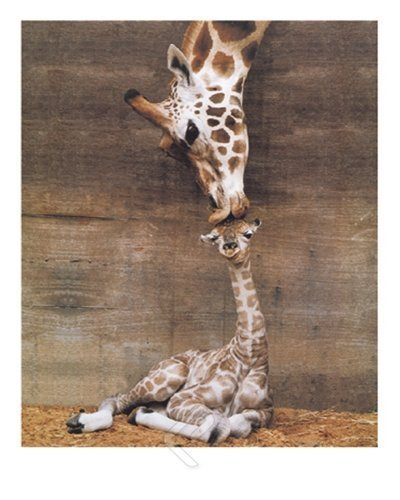HommomH 40 x 50 Blanket Comfort Warmth Soft Giraffe Mother Love First Kiss HommomHDirect