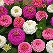 50 Stratified Edwardian Zinnia Seeds - My Secret Gardens