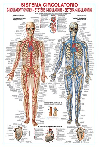 Circulatory System Poster 27 x 38in