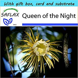 SAFLAX - Gift Set - Queen of the Night - 40 seeds - Selenicerus grandiflorus
