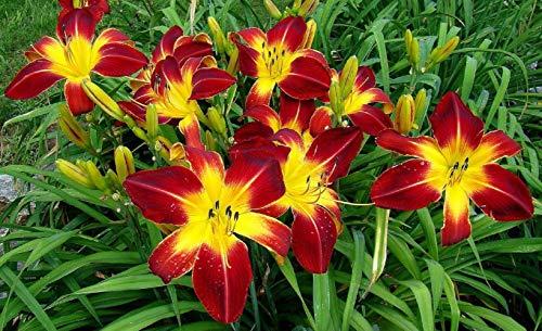 Hemerocallis Ruby Spider Daylily Perennial Plant Home ()