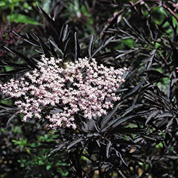 (- Sambucus 'Black Frills' Seeds)