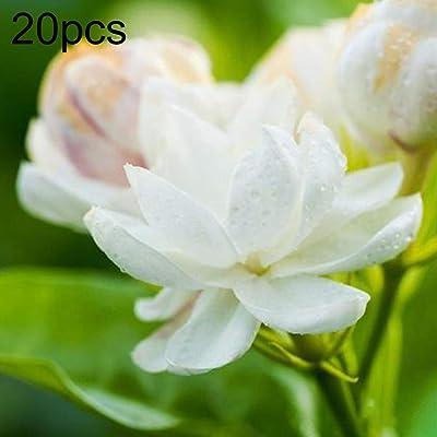 30Pcs White Arabian Jasmine Seeds Ornamental Flower Garden Balcony Bonsai Decor - Arabian Jasmine Seeds : Garden & Outdoor