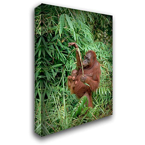 Orangutan Mother with Baby, Tanjung Puting National Park, Borneo 24x35 Gallery Wrapped Stretched Canvas Art by Wothe, Konrad