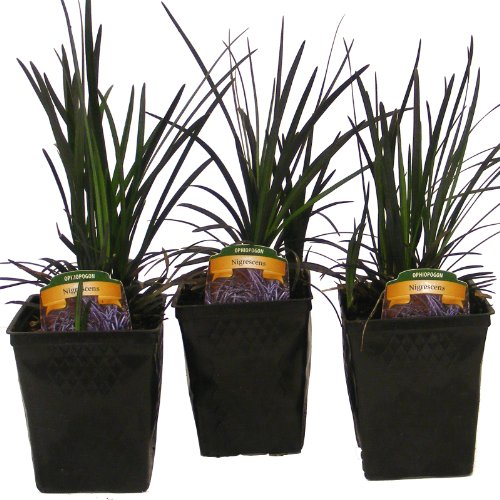 Black Mondo Grass Ophiopogon p #039Nigrescens#039  Set of 3 Potted Plants