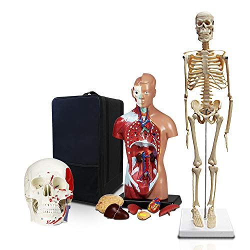 (Parco Scientific PBM-B8 Elementary and High School Learning Package. Set of Three Human Anatomy Models, Skeleton, Torso and Skull with Carrying)