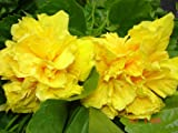DELITE Double Yellow Flower Tropical Hibiscus Live Plant Landscape Type Starter Size 4 Inch Pot Emeralds TM