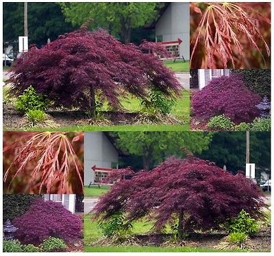 Green Lace Japanese Maple - Burgundy Lace, Green Lace Leaf, Red Lace Leaf, Japanese Red Maple - ACER Seeds