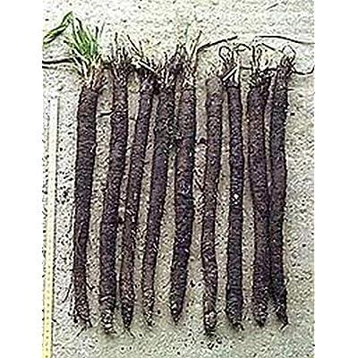 Black Salsify Seeds (50 Seeds) : Garden & Outdoor