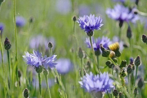 2 Wild Chicory Live bare root plant BUTTERFLIES, Prairie Flowers by yuni116