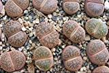 """Lithops Living Stone 3"""" Living Plant (not seeds)"""