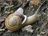 Two (2) Live Land Milk Snail Otala Lactea