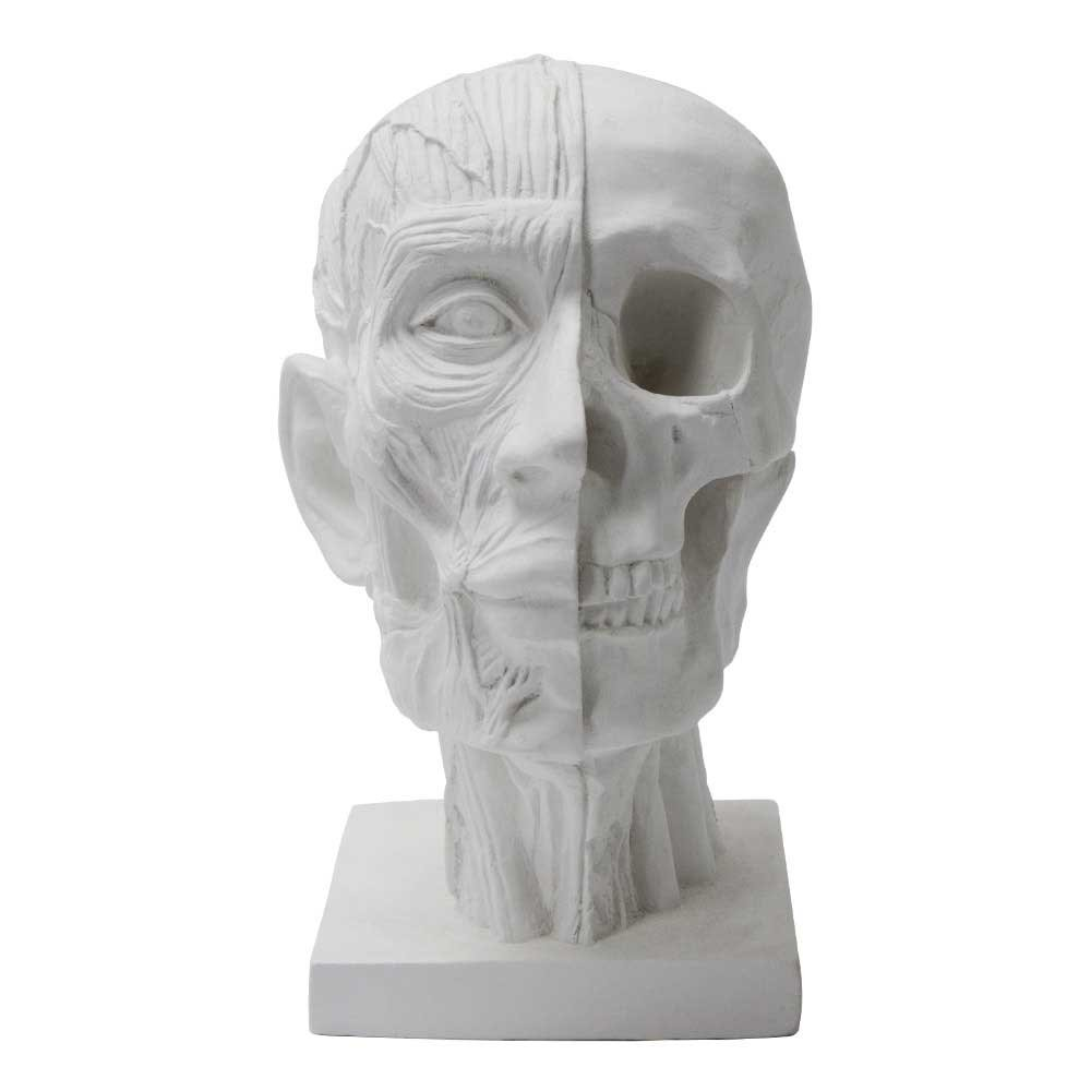 Torino Plaster Cast Dissection Of Skull, Human Skull in 2 Layers of Dissection, Great for Portrait Artists, White, 7.5'' X 6'' X 10''