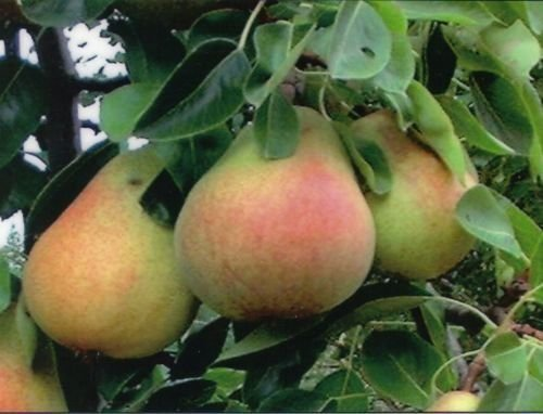 DWARF RED PEAR TREE1-2 FT FLOWERING FRUIT TREES LIVE PLANTS SPRING BLOOMS ()
