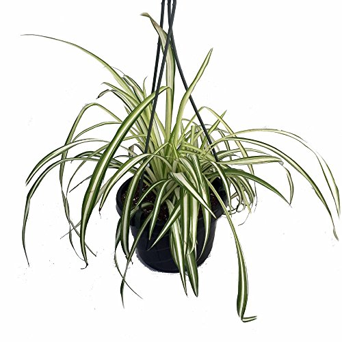 ocean-spider-plant-easy-to-grow-cleans-the-air-new-6-hanging-basket