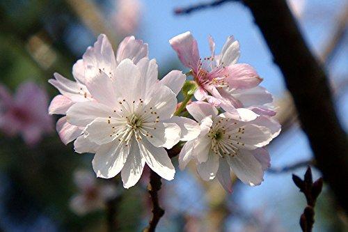 Autumn Cherry Tree (Autumn Flowering Higan Cherry Tree – Prunus subhirtella 'Autumnalis' - Established Roots 4