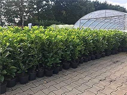 Heckenpflanzen kaufen mit Top-Baumschulqualität aus der Schweiz