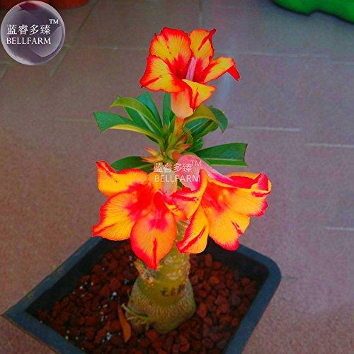 New Adenium Fire Orange Petals with Fire Red Stripes & Edge Flower 2+ ()