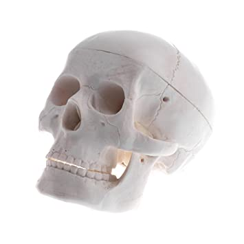 MagiDeal 1 Stück Menschlicher Kopf Schädel Skelett Anatomie Kopf ...