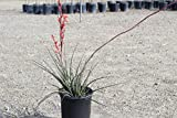 Red Yucca Aka Hesperaloe Parviflora Live Plant Succulent Fit 01 Gallon Pot