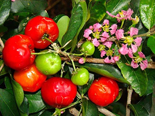 - ANVIN Germination Seeds:Malpighia Emarginata, Barbados Cherry Sweet Exotic Fruit Seed 10 Seeds