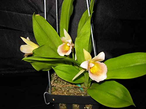 Chondrorhyncha Overbrook -Limited! Collector's item! Interesting and unique- orchid plant