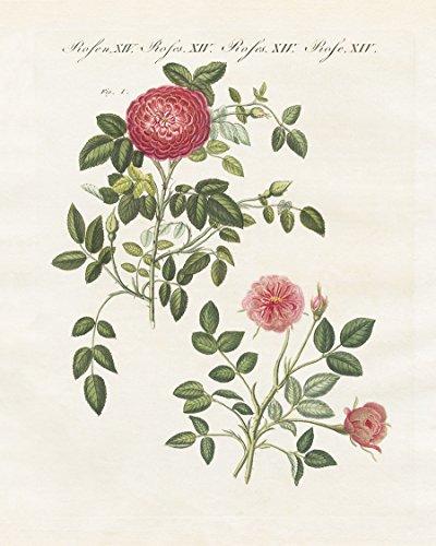 Fine Arts Mission Rose (Vintage Rose Print)