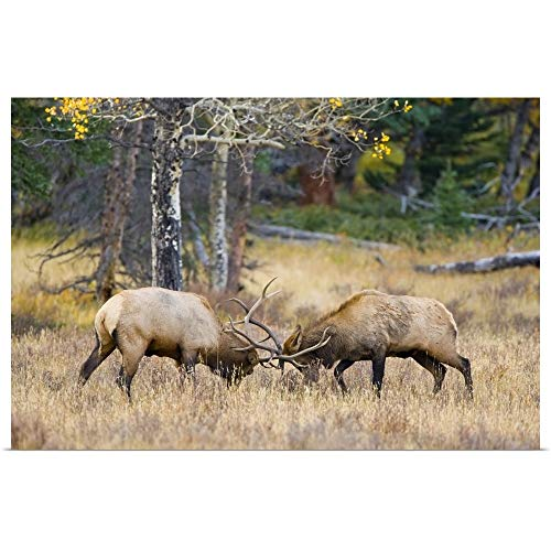 GREATBIGCANVAS Poster Print Entitled Colorado, Bull elks Sparring for Dominance in mating Season by Fred Lord 18