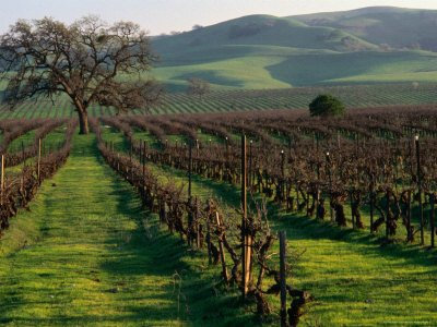 Late Winter Vineyard in Livermore Valley by Nicholas Pavloff
