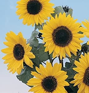 Sunflower Holiday D1303A (Multi Color Tall) 25 Seeds by David's Garden Seeds
