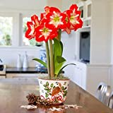 Red and White Amaryllis Minerva in a Holiday Partridge Ceramic Bowl | Ships from Easy to Grow TM
