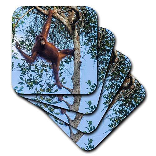 3dRose Danita Delimont - Orangutans - Indonesia, Borneo, Kalimantan. Female orangutan - set of 4 Coasters - Soft (cst_312729_1)