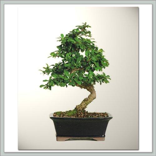 Fukien Tea Bonsai Tree I | Nursery Direct from (Fukien Tea Bonsai Tree)