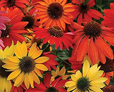 Hardy Perennial Echinacea 'Cheyenne Spirit Mixed' Coneflower Seeds, Professional Pack, 50 Seeds / Pack, Cut Flowers