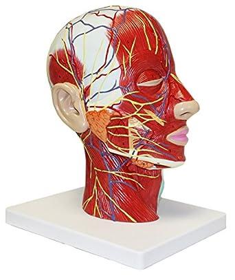 Education Scientifics Half Head Superficial Neurovascular Model With