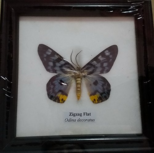 picture-frames-home-decor-real-zigzag-butterfly-framed-taxidermy-entomology-insect-display-gift