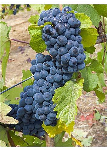 Media Storehouse A2 Poster of USA, Oregon, Gaston. Pinot Noir Grapes on The Vine (19029483)