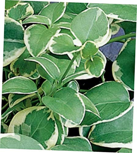 MONN 6 Hardy Perennial Live Plant Variegated Vinca Vine Ground Cover Bare Root - RK225