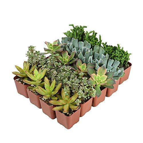Altman Plants Assorted Live bulk Mini Succulents Collection Party favors, DIY terrariums, 2 Inch, 20 Pack by Altman Plants (Image #2)