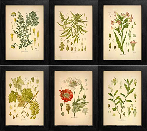 Ink Inc. Psychoactive Plants Botanical Drawings Vintage Art Prints, Set of 6, 8x10in, Unframed, Cannabis Coca Opium Poppy Tobacco Wormwood Grapes ()