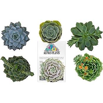 "Altman Plants 6 Pack Flowering Succulent and Cactus, 3.5"""