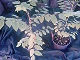 "9EzTropical - Tropical Gooseberry - Phyllanthus acidus - Cay Chum Ruot - 8"" to 1 Feet Tall - Ship in 4"" Pot"