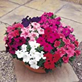 Suttons Seeds 126398 - Mix di semi di petunie ibride Grandiflora F1